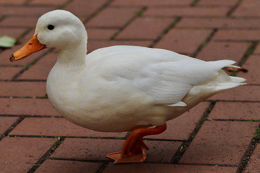 Duck, Mallard, White Duck, Water Bird, Plumage, Poultry