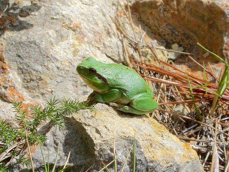 Mediterranean, Mediterranean Tree Frog, Tree Frog