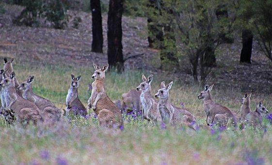 Kangaroos, Wildlife, Australian, Native, Fauna, Family