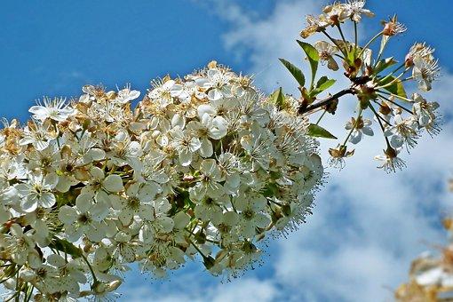 Cherry, Flowers, Tree, Fruit, Spring, Nature, Garden