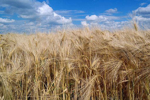 Wheat, Nature, Agriculture, Farm, Field, Grain, Summer