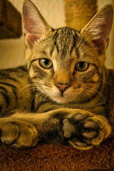 Cat, Mackerel, Lying, Kitten, Domestic Cat, Pet, Cute