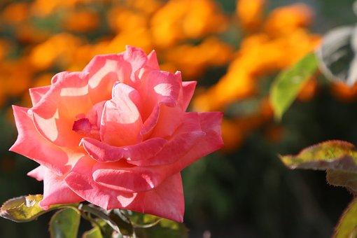 Rose, Spring, Born, Flower, Nature, Romantic, Pink