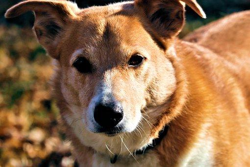 Dog, Hound, Red, Soulful, Eyes, Play, Puppy, Floppy