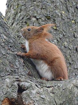 Eurasian Squirrel, Rodent, Croissant