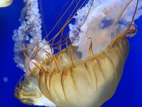 Jellyfish, Ocean, Sea, Nature, Creature