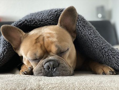 French Bulldog, Dog, Animal, Sleep, Blanket