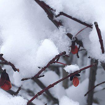Snow, Canada, Ice Crystals, Canadian Hollyberry, Winter