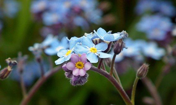 Nots, Little Flowers, Nature, Garden, Closeup, Spring