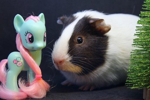 Sea pig, Sweet, Pony, Animal, Cute, Guinea Pig
