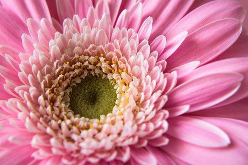 Gerbera, Pink, Flower, Feeling, Nature, Tenderness Pink