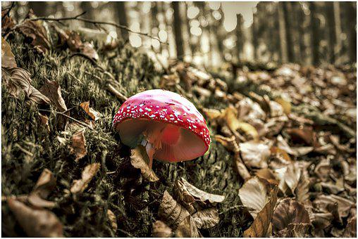 Mushroom, Forest, Autumn, Fly Agaric, Toxic, Red