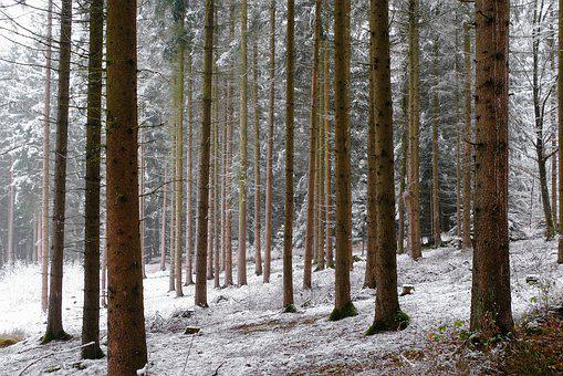 Winter, Forest, Snow, White, Trees, Tree Trunks, Nature