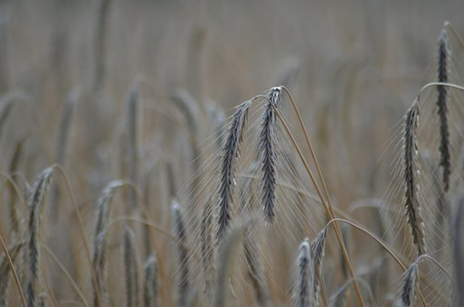 Wheat, Field, Cereals, Agriculture, Wheat Field
