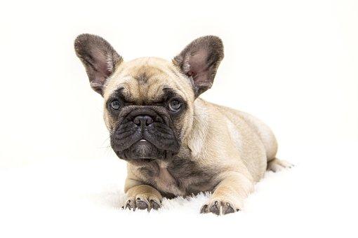 Dogs, The French Bulldog, Dog, Tough, Animal, Pet, Cute