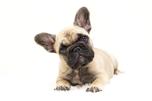 Dogs, The French Bulldog, Dog, Tough, Animal, Pet, Cute
