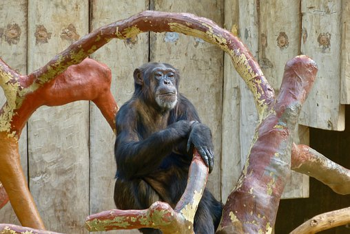 Ape, Chimpanzee, Animals, Animal World, Zoowelt, Zoo