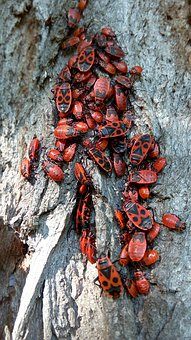 Beetles, Red, Insect, Nature, Animals, Beetle