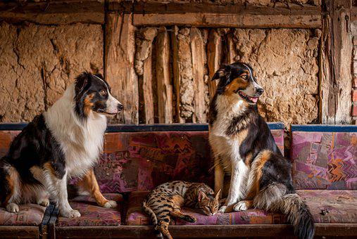Border, Collies, Dog, Bengal, Cat