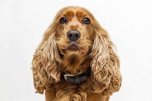 Dogs, Cocker Spaniel, Spaniel, Dog, Cute, Animal, Pet