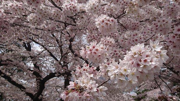 Sakura, Cherry Blossoms, In Full Bloom, Spring, Flowers