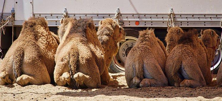 Camels, Resting, Backsides, Humps, Funny, Lying