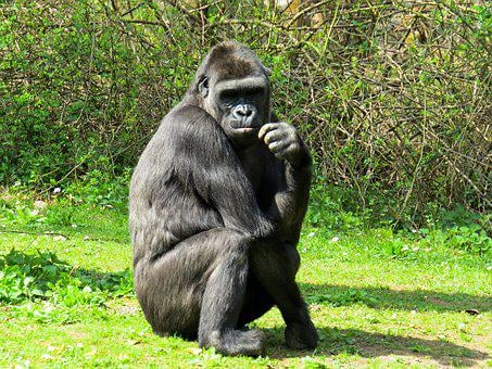 Animal World, Monkey, Gorilla, Primate, Sit, Thinking