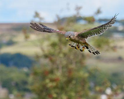 Kestrel, Falconry, Bird, Raptor, Nature, Hunting