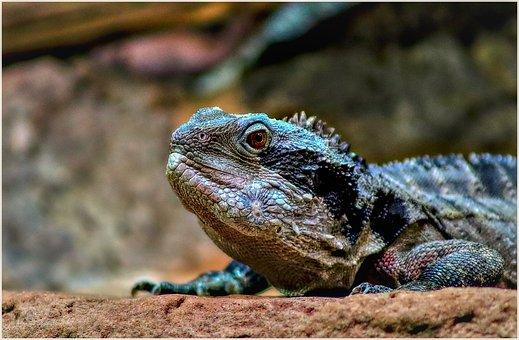 Lizard, Terrarium, Reptile, Scale, Close Up, Iguana