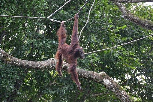 Ape, Zoo, Singapore, Monkey, Primate, Mammal