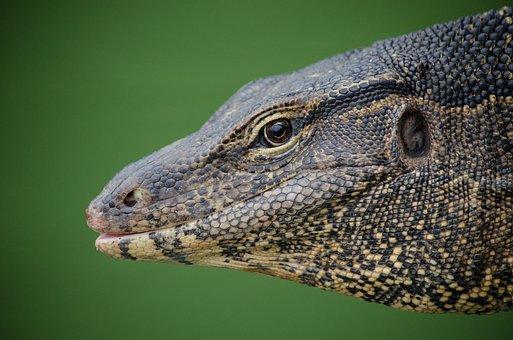 Lizard, Dragon, Reptile, Fantasy, Green, Eye, Nature