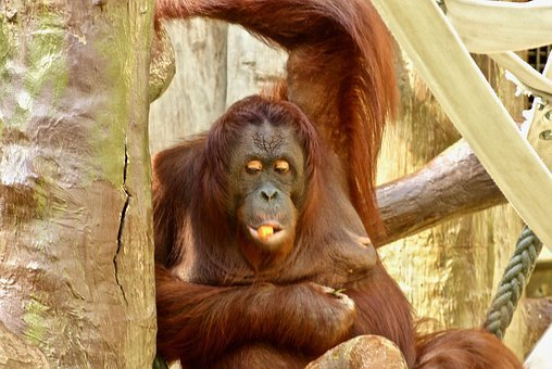 Monkey, Orang-utan, Animals, Animal World, Zoowelt, Zoo