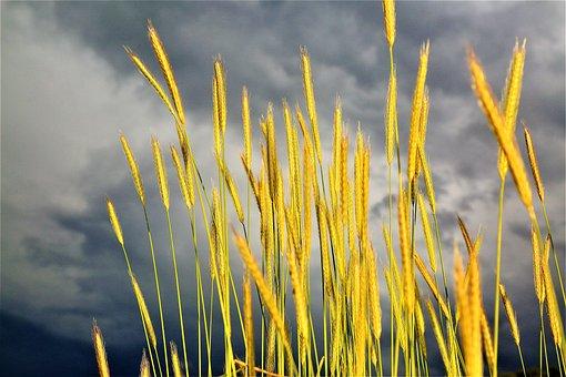 Virgos, Plant, Spike, Grain, Nature, Area, Agriculture