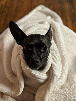Snuggle, Warm, Blanket, Safe, Chihuahua, Dog, Canine