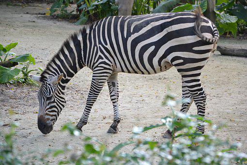 Singapore, Zebra, Zoo, Africa, Animal World, Striped