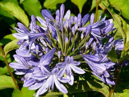 Agapanthus, Flower, Blue, Violet, Agapanthus Africanus