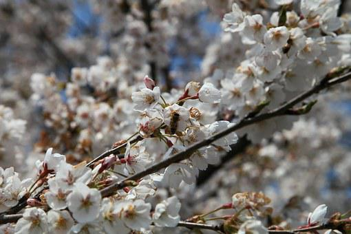 Cherry Flowers, Spring Flowers, April