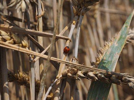 Ladybug, Beetle, Siebenpunkt, Coccinella Septempunctata