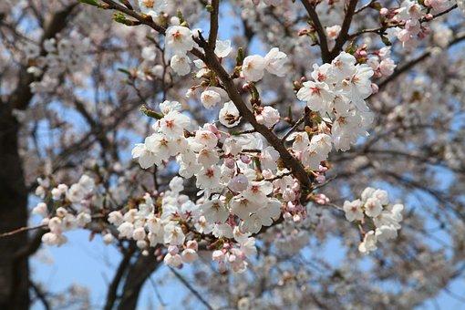 Spring Flowers, Cherry Blossom, Boryeong Dam, Spring
