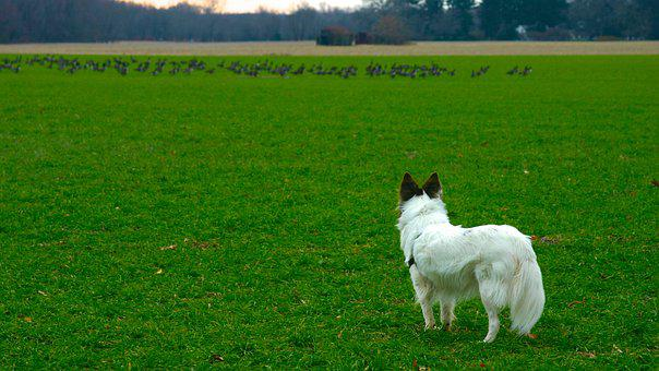 Contemplating, Chase, Dog, Geese, Field, Pasture