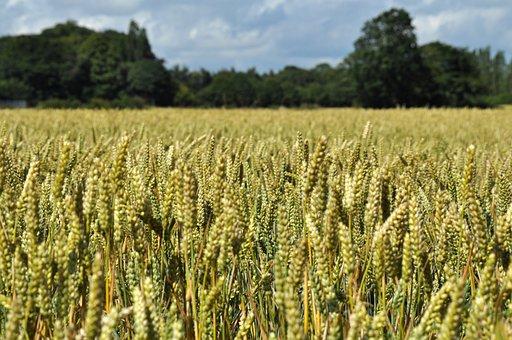 Wheat, Field, Agriculture, Landscape, Crop, Nature