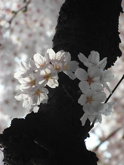 Cherry Blossom, Flowers, Eggplant, Spring, Sakura