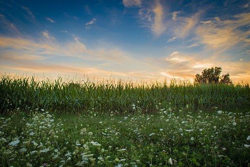 Field, Farm, Corn, Harvest, Queen Anne's Lace, Sunset