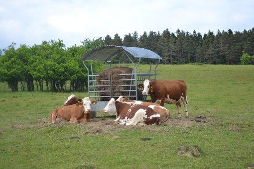Farmer, Cow, Agriculture, Farm, Milk, Business, Animal