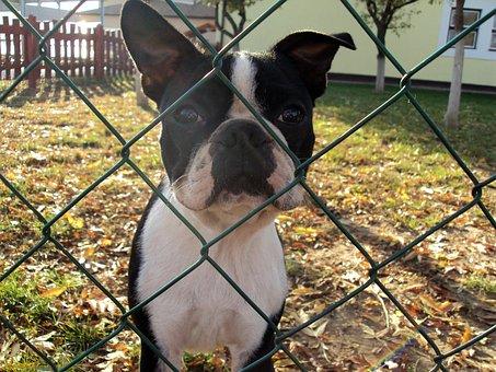 French Bulldog, Dog, Fence, Animal, Pets