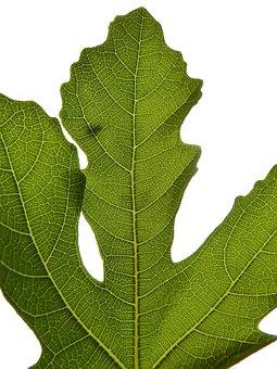 Fig Leaf, Backlight, Fig Tree, Leaf, Natural Geometry