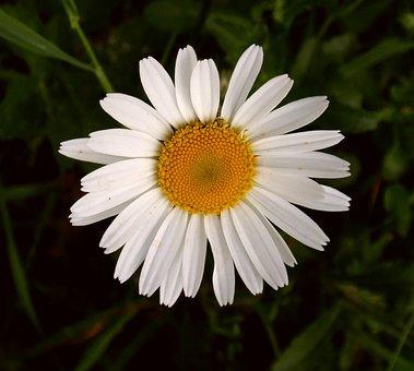 Marguerite, Blossom, Bloom, Flower, White, Nature