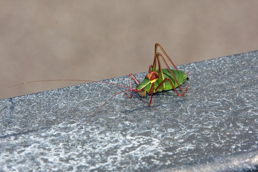 Insect, Animal, Grasshopper, Nature, Green
