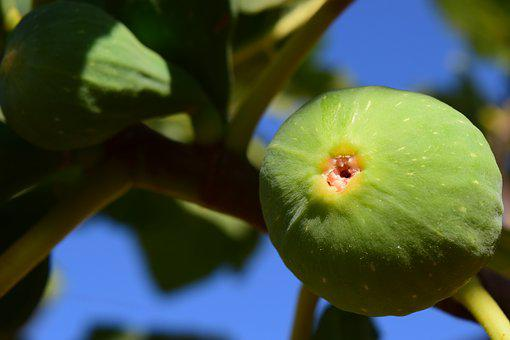 Fig, Fig Tree, Real Coward, Fruits, Green, Fig Fruit