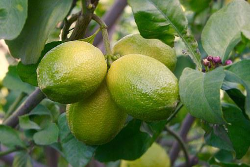 Lemon, Lemon Tree, Fruit, Green, Yellow, Citrus, Growth